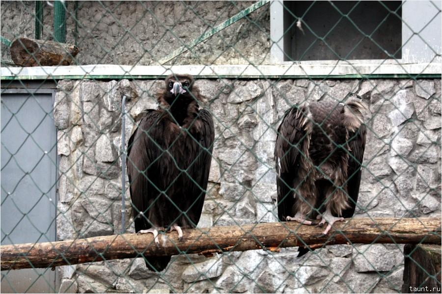 Черные грифы