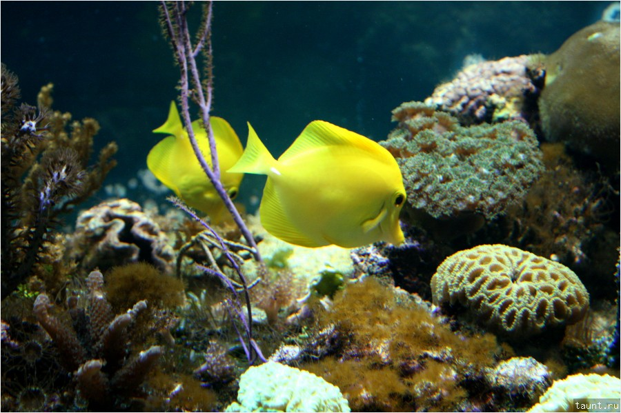 Желтая зебросома