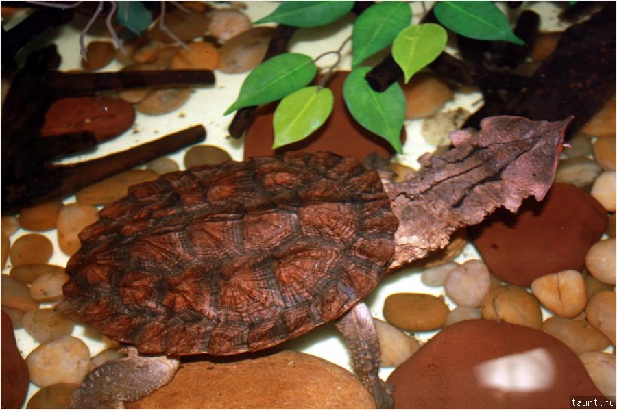 Матамата (Chelus fimbriata)