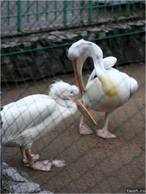 Пеликан розовый (Pelecanus onocrotalus)