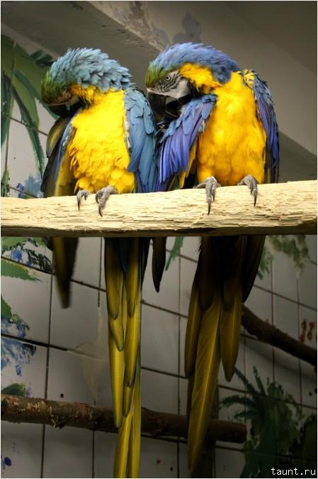 Синежелтый ара на ветке