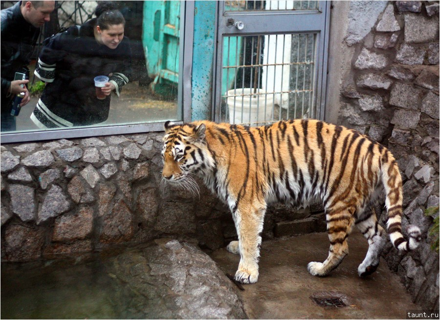 Тигр амурский (Panthera tigris altaica)
