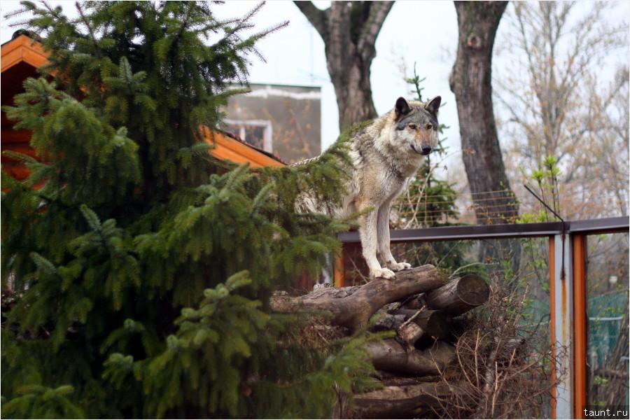 Волк (Canis lupus)